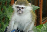 Похититель зеленой мартышки из воронежского зоопарка не отправится в колонию