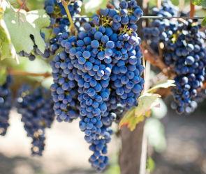 Известный критик считает Воронеж пригодным для виноделия регионом
