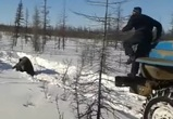 Воронежец требует наказать живодеров, переехавших медведя на грузовике