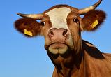 Под Воронежем построили за 2 млрд и открыли новый комплекс с элитными коровами