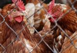 В Воронежской области ветврачи и прокуратура проверят все птицефабрики