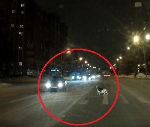Беременная собака на дороге стала героиней видео о том, как выжить в Воронеже