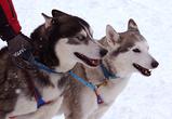 В парке Динамо на Масленицу воронежцев ждут блины и катания на собачьих упряжках