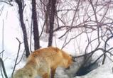Лиса «поздравила» барсука с 23 Февраля в заповеднике в Воронежской области