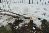 В Воронеже неизвестные уничтожили 59 каштанов на миллион рублей