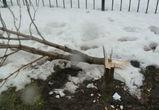 Ситуацию с вырубкой каштанов в Воронеже взял на контроль губернатор