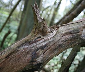 Под Воронежем рухнувшее ветхое дерево убило гулявшую во дворе школьницу