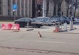 В Воронеже разыскивают зайца, бегавшего по площади Ленина