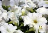 В Воронеже цветами засадят клумбы площадью более 25 тысяч квадратных метров