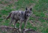 В Воронеже на видео попали косули, лисы, барсуки и волк