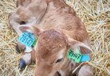 Израильские аграрии помогут повысить продуктивность российских коров