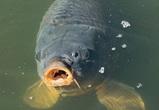 В Воронежской области трое рыбокрадов хотели съесть центнер похищенного карпа