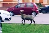 В Воронеже сфотографировали козла, разгуливающего по городу