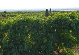 Почему в Воронеже не будет виноделия «высокого полета»