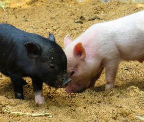 В Воронежской области придумали новый способ борьбы с африканской чумой свиней