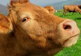 В Воронежской области мужчина с коровой сломали женщине забор и плечо