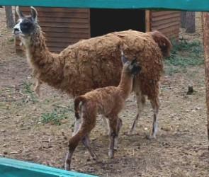 В Воронежском зоопитомнике у пары лам родился уже второй детеныш