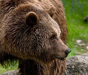 В райцентре под Воронежем полицейский убил медведя, насмерть задравшего человека