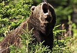 Ветеринары отрицают бешенство у медведя, убившего человека под Воронежем