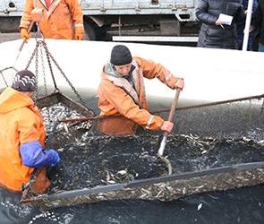 В водохранилище Воронежа для улучшения экологии запустили 1,4 млн толстолобиков