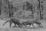 Битву оленей в Воронежском заповеднике сняли на видео
