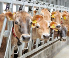 Коровы «Вкуснотеево» выиграли золото на крупнейшей выставке России