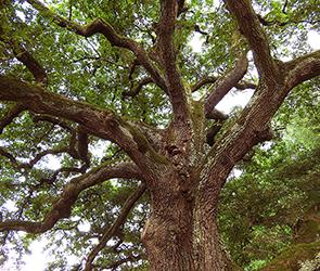 Уникальный 300-летний дуб под Воронежем получил статус памятника природы