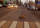 В Воронеже сфотографировали лису, бегающую по пешеходному переходу