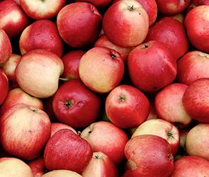 Безработный выкрал 4,5 тонн яблок из знаменитого воронежского плодопитомника