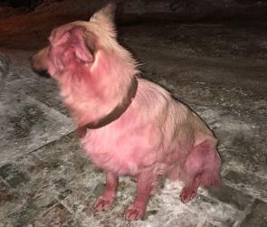 Воронежцы раскрыли тайну розового пса