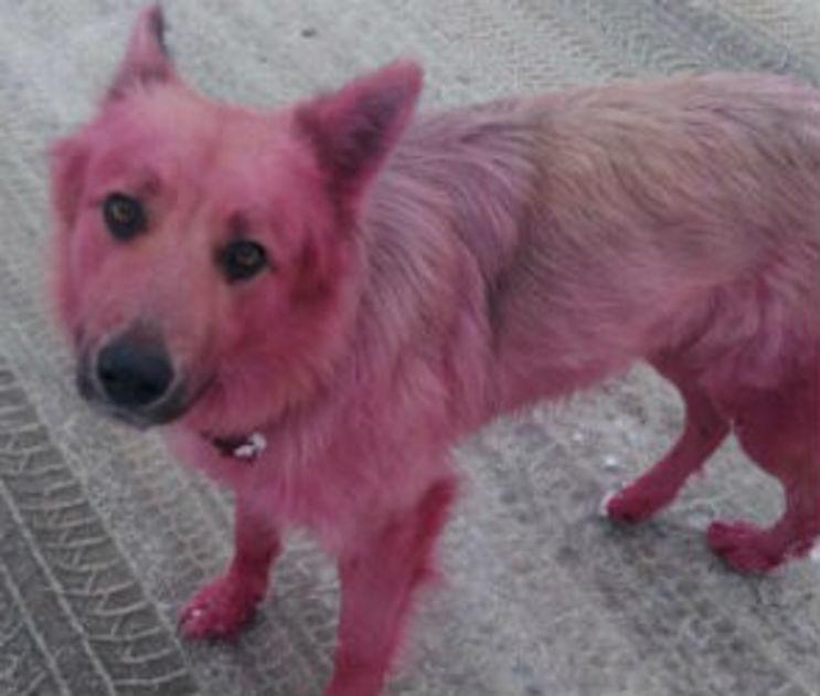 В Воронеже знаменитый розовый пес Бэтмен устроил побег