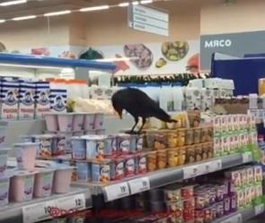 Воронежцы сняли на видео ворона, лакомившегося йогуртом в гипермаркете
