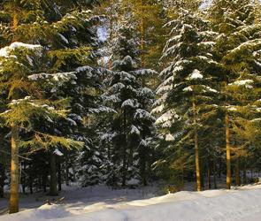 В канун Нового года воронежцев зовут охранять елки от браконьеров