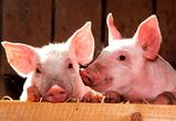 Воронежская область получит миллиард на строительство свиноводческого комплекса