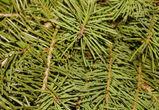 В Воронеже закрыли точку нелегальной торговли елками