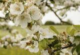 Часть яблоневого сада в Воронеже осталась у «Выбора»
