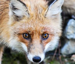 В Воронежской области произошло два нападения бешеных лисиц на людей