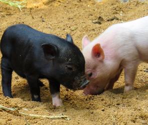 В Воронежской области стало больше шоколада и свиней
