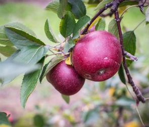 В Воронеже попытаются вернуть часть яблоневого сада, оставшуюся у «Выбора»