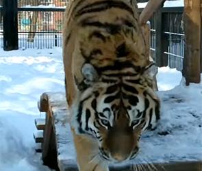 В воронежском зоопарке тигр набросился на человека с камерой (видео)