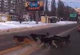 В Воронеже на видео сняли «стаю умных японских собак», переходящих дорогу