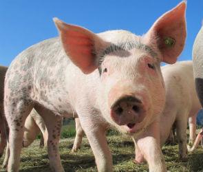 Воронежская область вошла в тройку регионов-лидеров по производству свинины