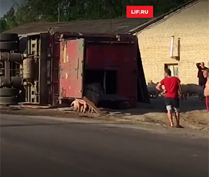 На воронежской трассе опрокинулся грузовик «Мерседес» с 200 свиньями (видео)