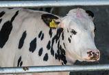 Названа лучшая молочная ферма Воронежской области