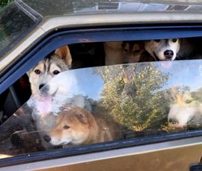 Воронежцев позабавил «Хаскомобиль»: восемь собак в машине в ожидании хозяйки