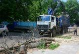 В центре Воронежа вырубают уничтоженные ясеневой златкой деревья