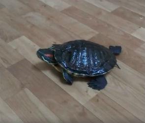 Очередную «черепашку-ниндзя» спасли из канализации сотрудники Водоканала