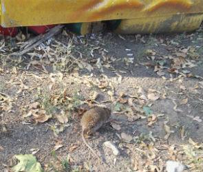 Воронежцы рассказали об огромной крысе, живущей рядом детскими каруселями