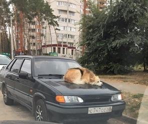 Собаку «Капотико» сфотографировали на машине в Воронеже