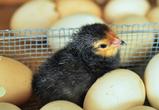 На крупной воронежской птицефабрике из-за птичьего гриппа уничтожат 1,2 млн кур